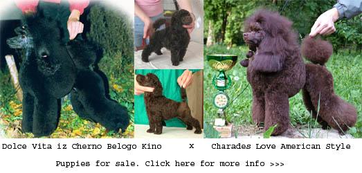 Продаются щенки карликового и той-пуделя коричневого отраса