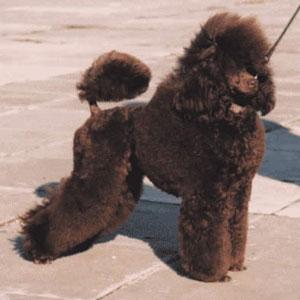Nutlee Lingreyxmaswish - коричневый карликовый пудель